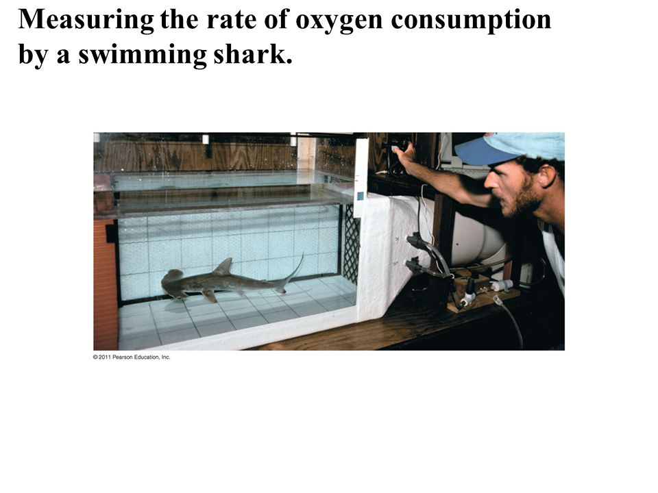 Measuring the rate of oxygen consumption by a swimming shark.
