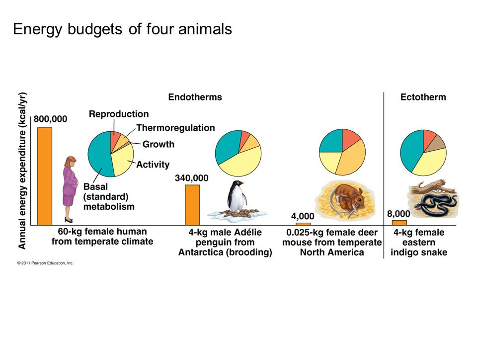 Energy budgets of four animals