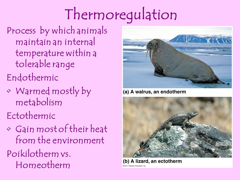 Thermoregulation Process by which animals maintain an internal temperature within a tolerable range.