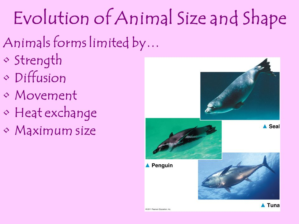 Evolution of Animal Size and Shape
