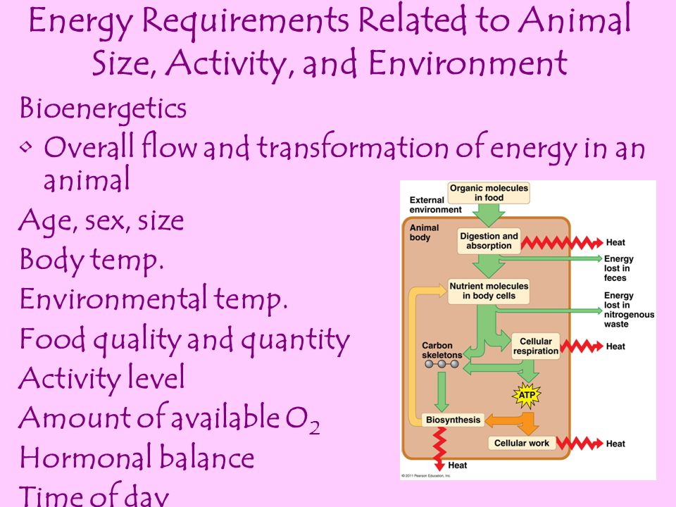 Energy Requirements Related to Animal Size, Activity, and Environment