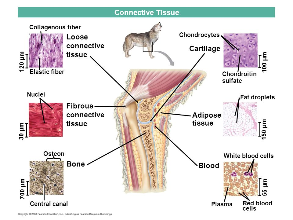 Connective Tissue Loose connective tissue Cartilage Fibrous connective