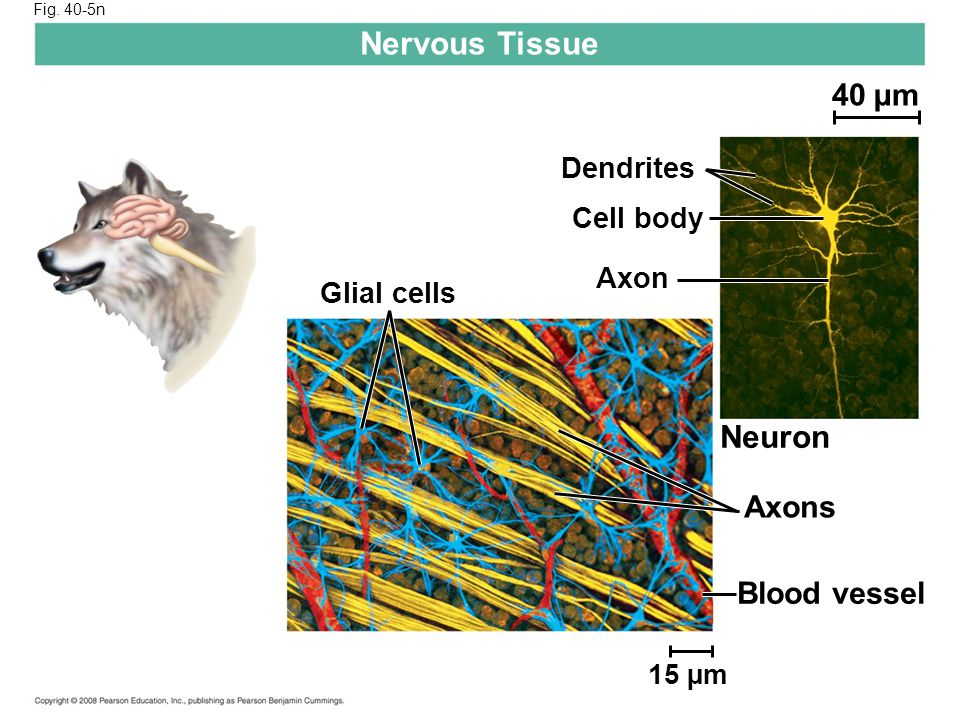Nervous Tissue Neuron 40 µm Axons Blood vessel Dendrites Cell body