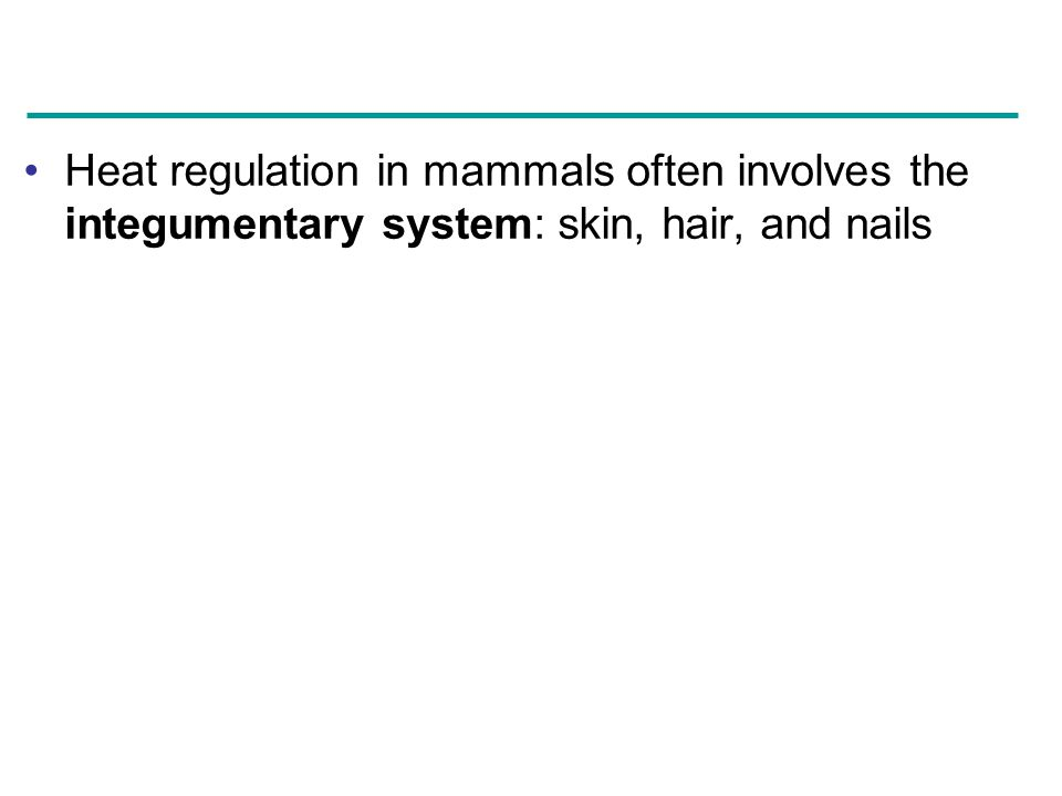 Heat regulation in mammals often involves the integumentary system: skin, hair, and nails