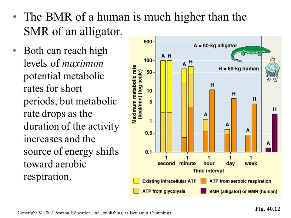 The BMR of a human is much higher than the SMR of an alligator.