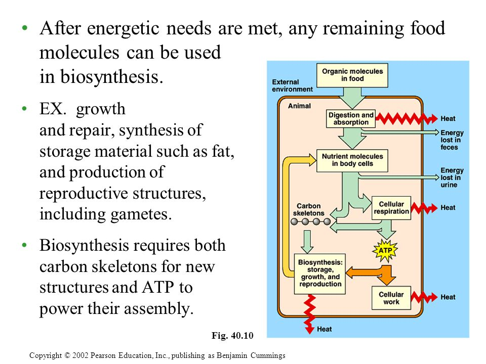 After energetic needs are met, any remaining food molecules can be used in biosynthesis.
