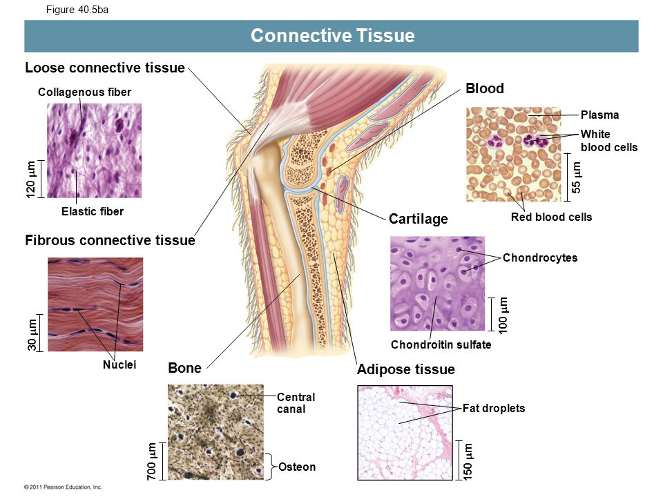 Connective Tissue Loose connective tissue Blood Cartilage