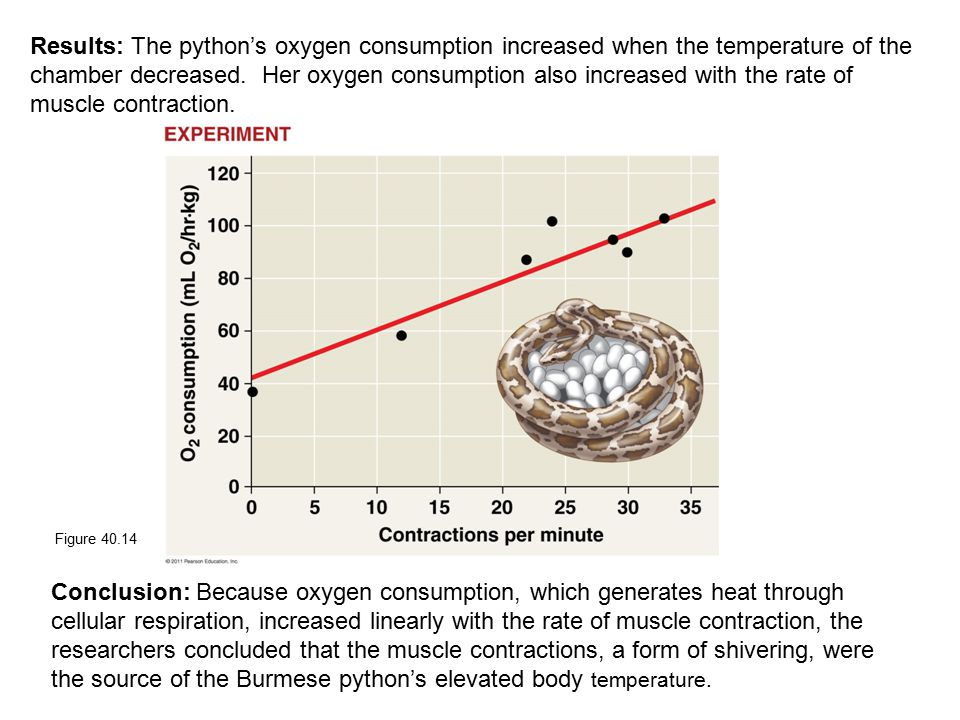 Results: The python's oxygen consumption increased when the temperature of the chamber decreased. Her oxygen consumption also increased with the rate of muscle contraction.
