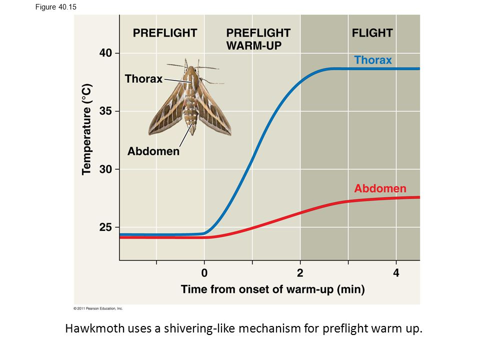 Hawkmoth uses a shivering-like mechanism for preflight warm up.