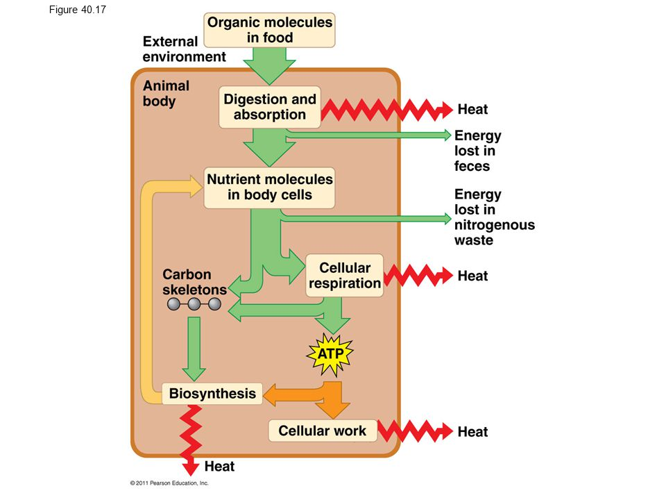 Figure 40.17 Bioenergetics of an animal: an overview.