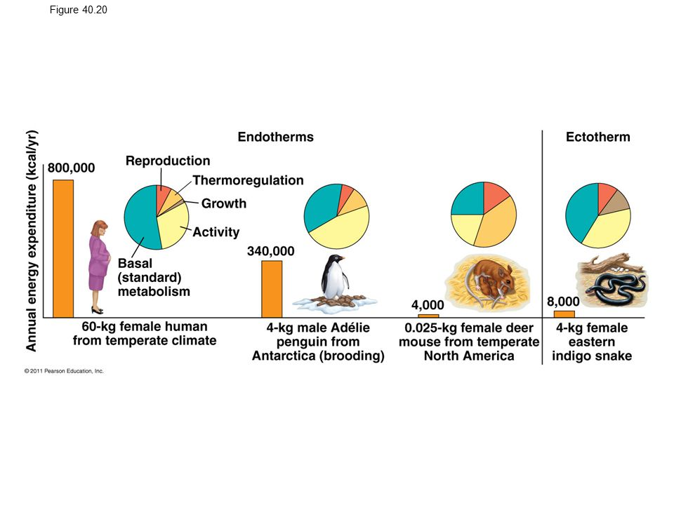 Figure 40.20 Energy budgets for four animals.