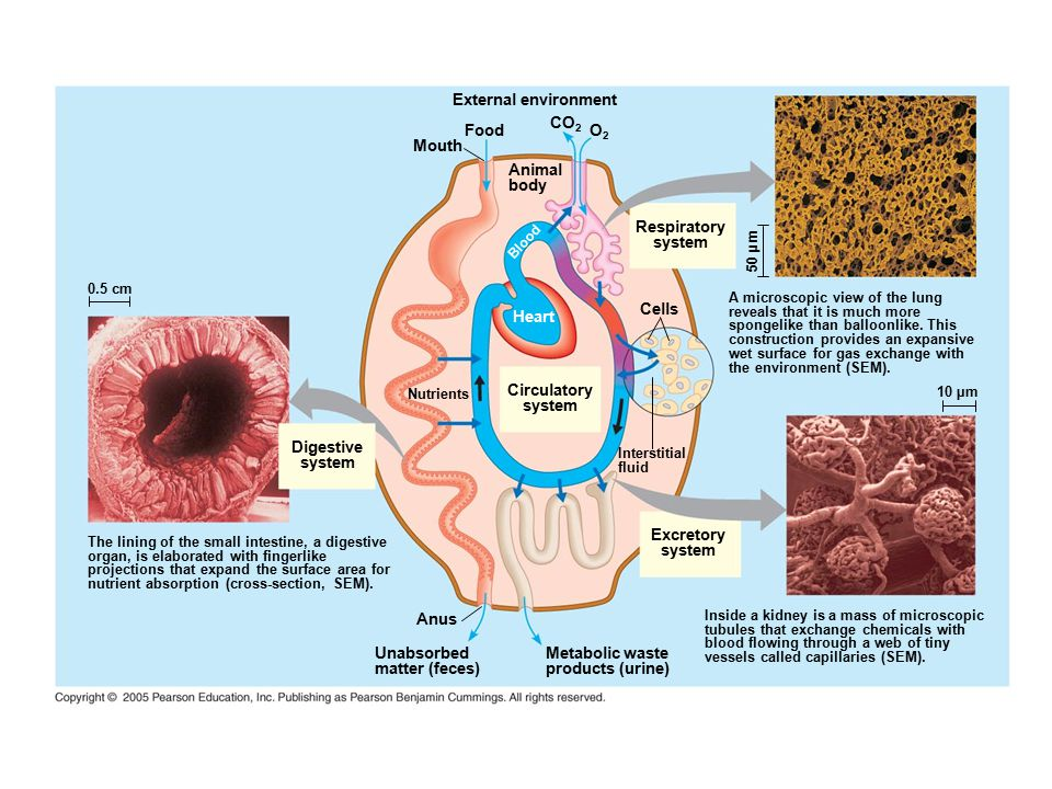 External environment CO2 Food O2 Mouth Animal body Respiratory system