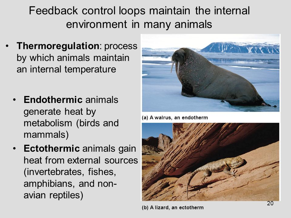 Feedback control loops maintain the internal environment in many animals