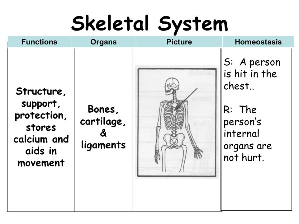 Skeletal System Structure, support, protection, stores calcium and aids in movement. Bones, cartilage, & ligaments.
