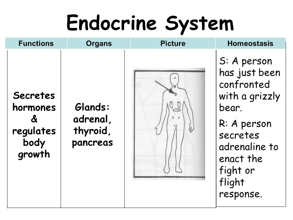Endocrine System Secretes hormones & regulates body growth