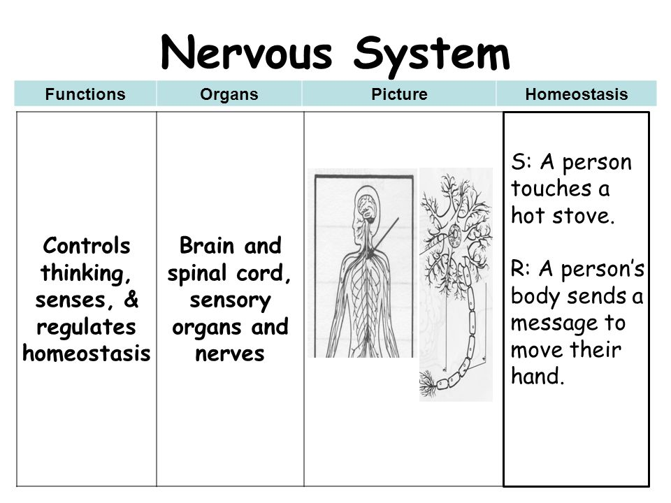 Nervous System Controls thinking, senses, & regulates homeostasis