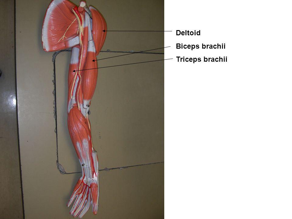 Deltoid Biceps brachii Triceps brachii