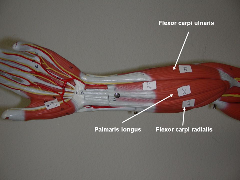 Flexor carpi ulnaris Palmaris longus Flexor carpi radialis