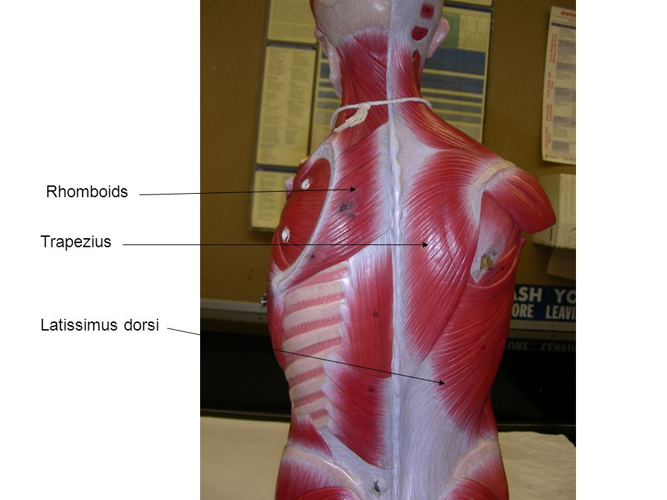Human Chest, Arm, and back Muscles - ppt video online download