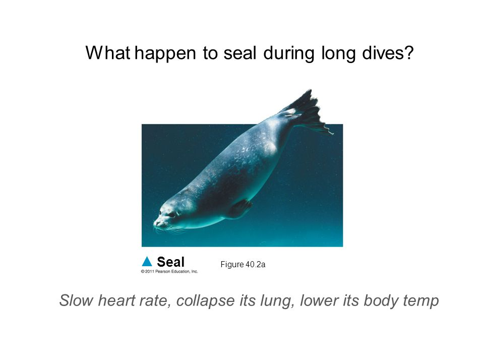 What happen to seal during long dives