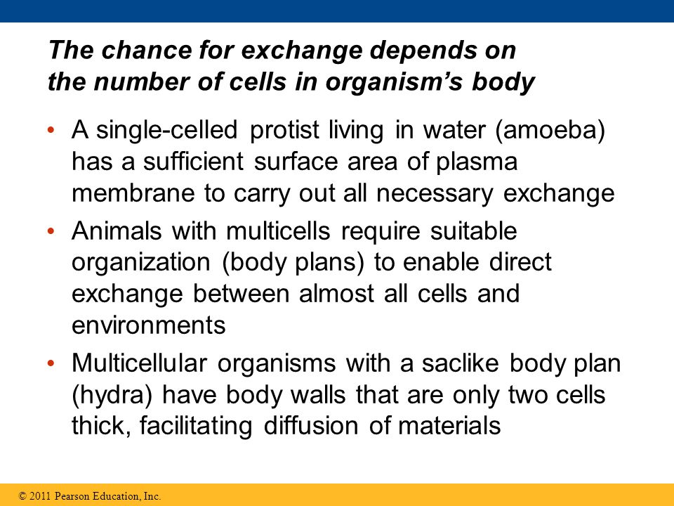 The chance for exchange depends on the number of cells in organism's body
