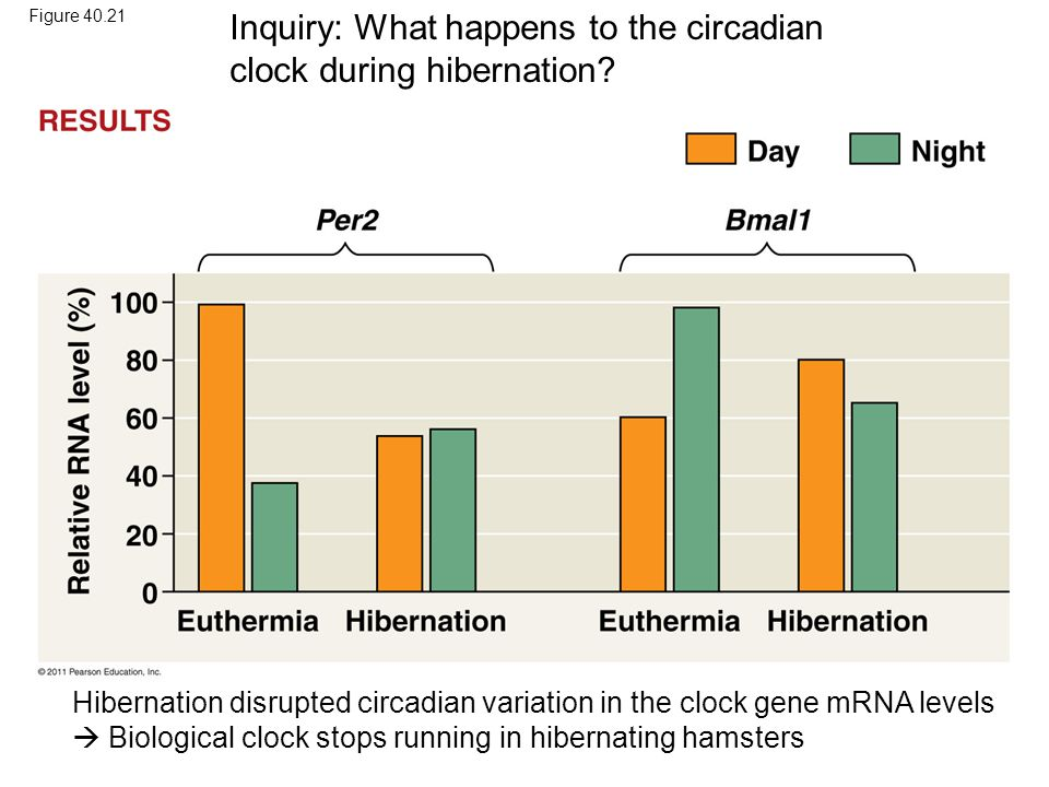 Inquiry: What happens to the circadian clock during hibernation