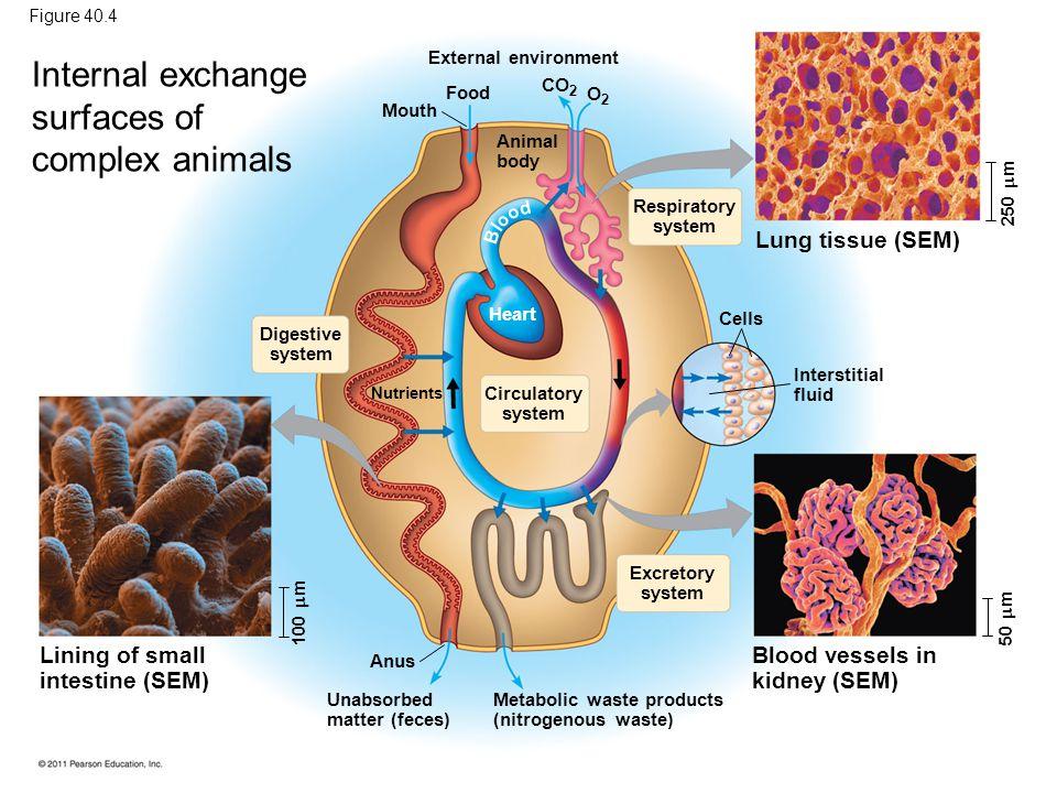 Internal exchange surfaces of complex animals