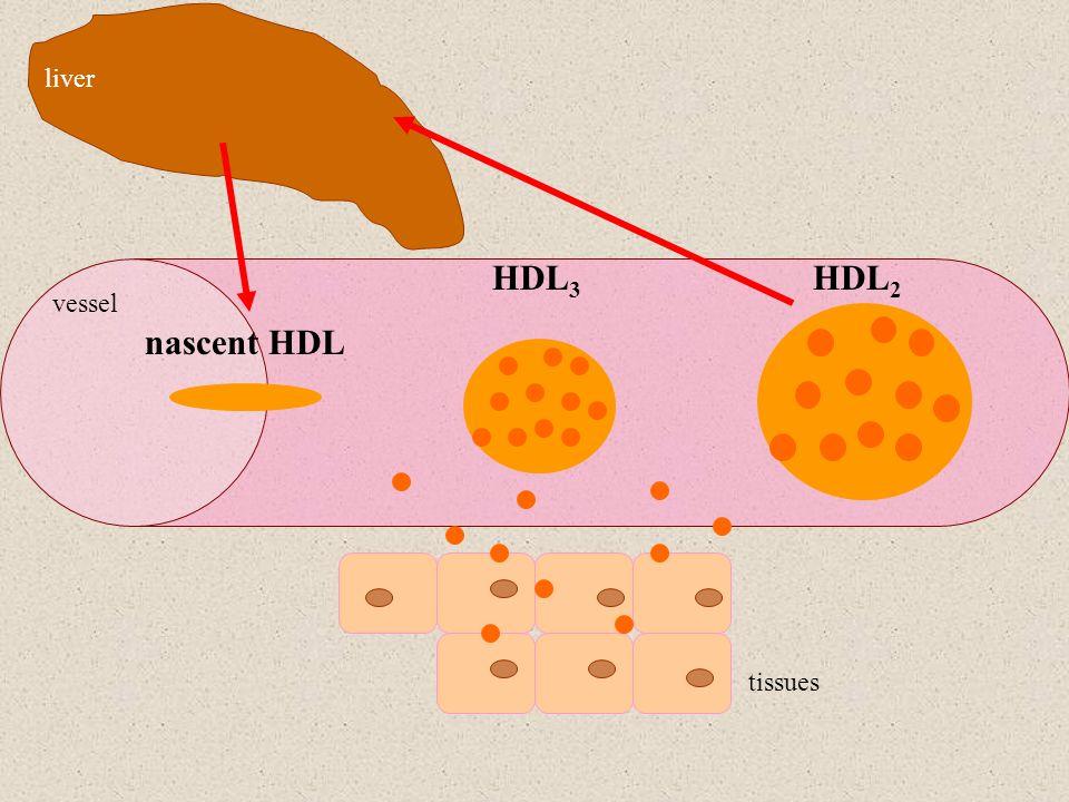 liver HDL3 HDL2 nascent HDL vessel tissues