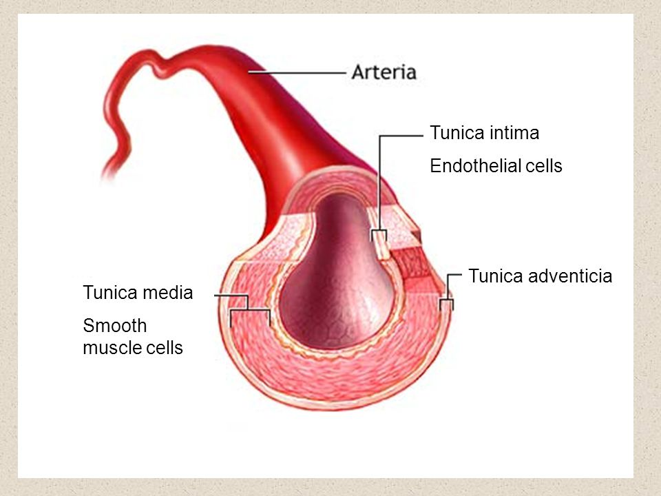 Tunica intima Endothelial cells Tunica media Smooth muscle cells Tunica adventicia