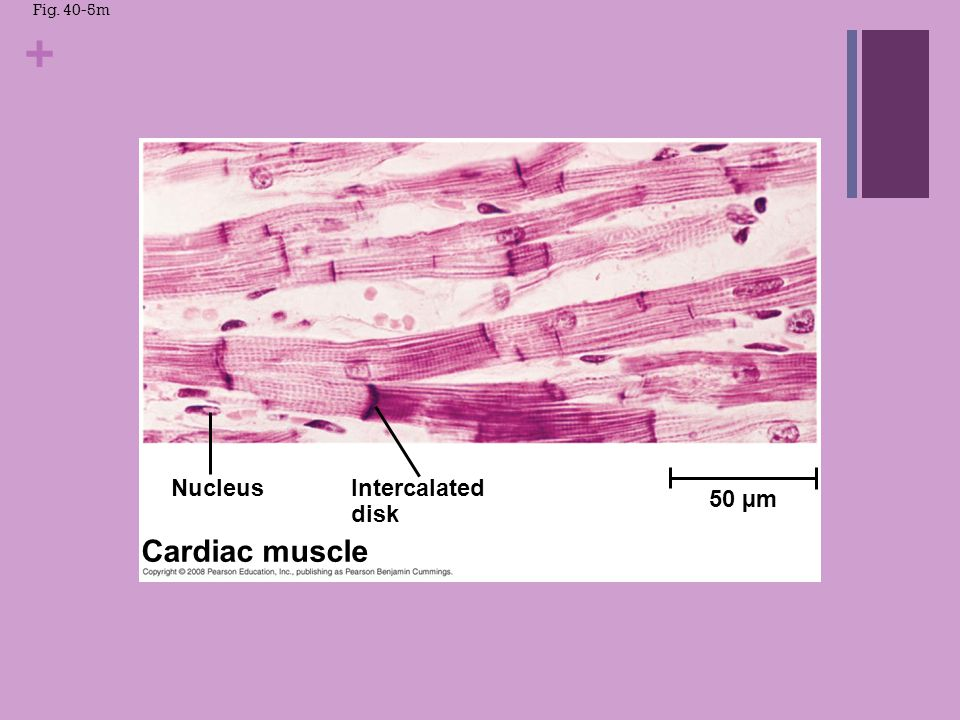 Cardiac muscle Nucleus Intercalated disk 50 µm Fig. 40-5m