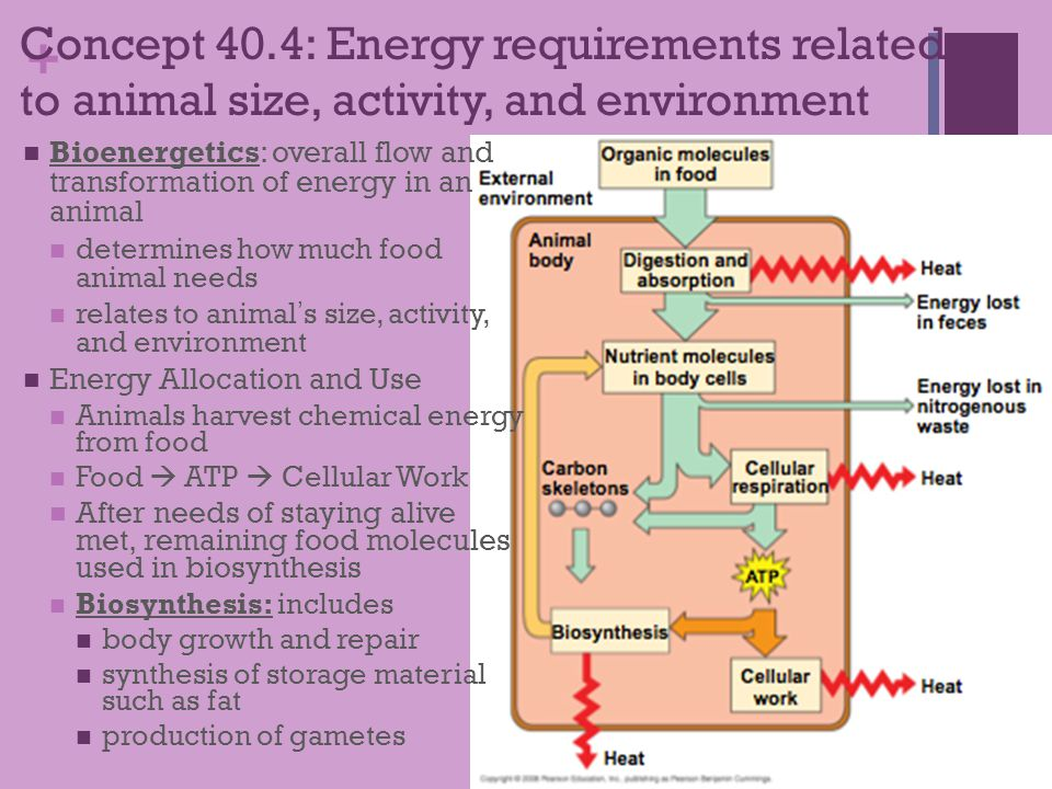 Concept 40.4: Energy requirements related to animal size, activity, and environment