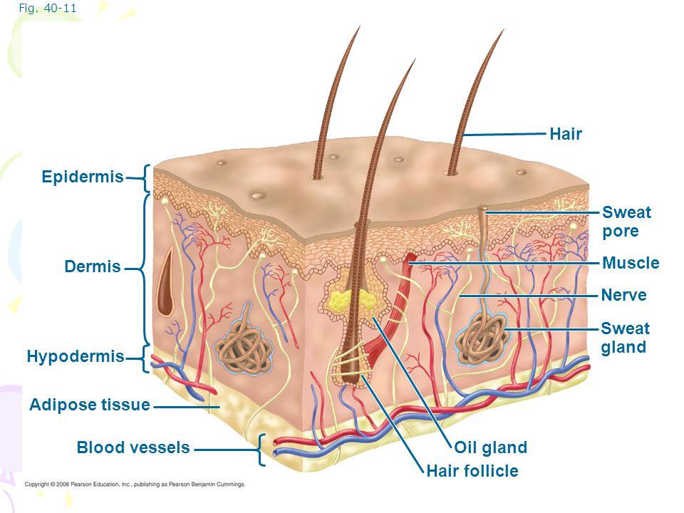 Hair Epidermis Sweat pore Dermis Muscle Nerve Sweat gland Hypodermis