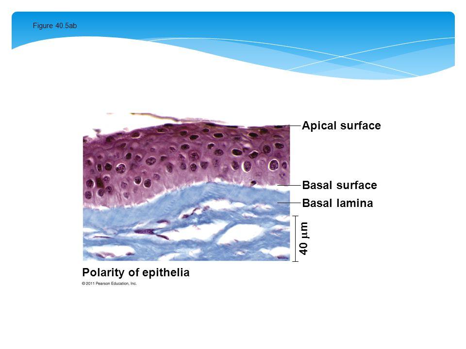 Apical surface Basal surface Basal lamina 40 m Polarity of epithelia