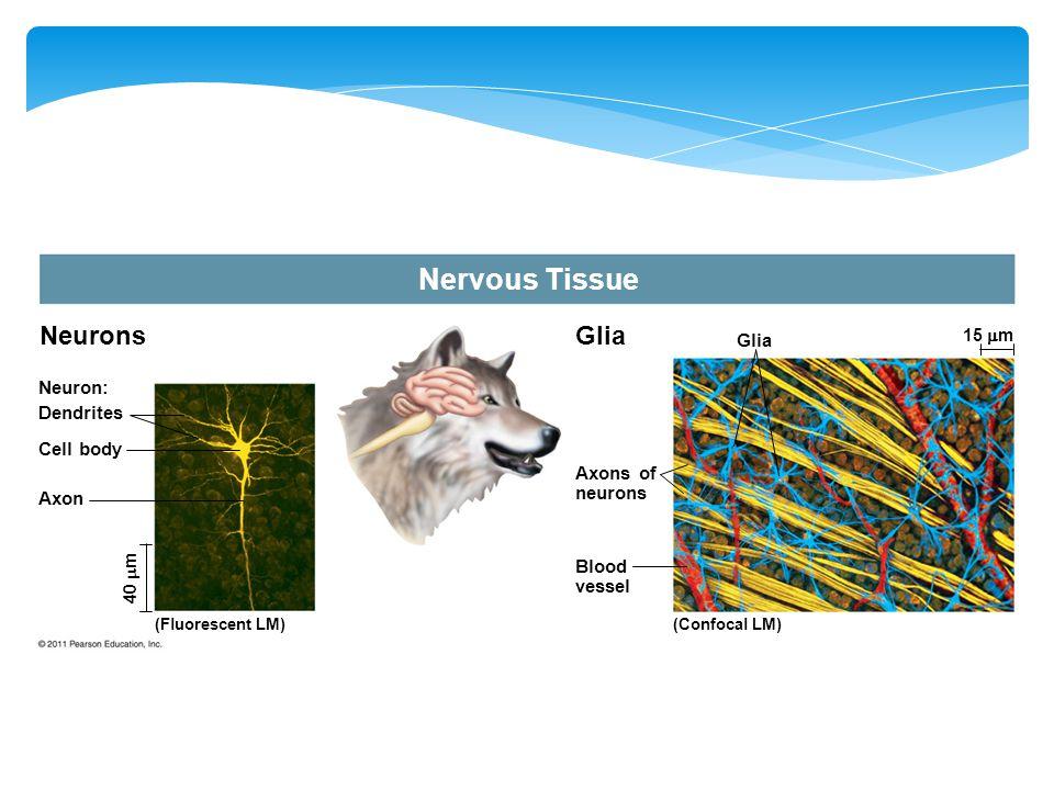 Nervous Tissue Neurons Glia Glia Neuron: Dendrites Cell body Axons of