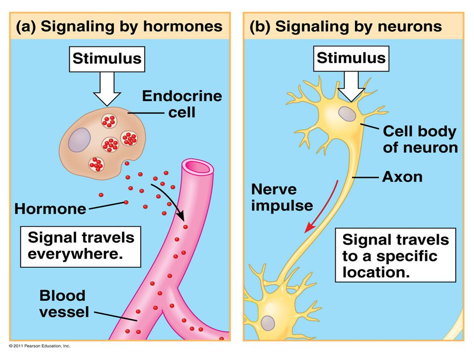 Figure 40.6 Signaling in the endocrine and nervous systems