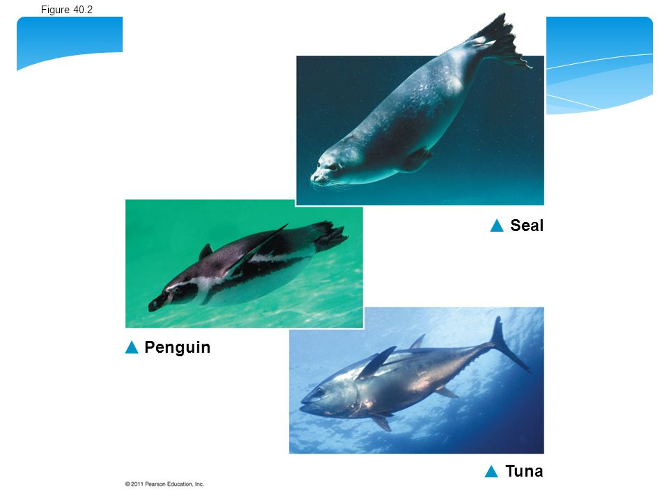 Seal Penguin Tuna Figure 40.2 Convergent evolution in fast swimmers. 5