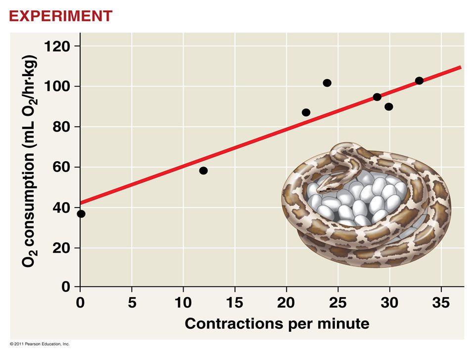Figure 40.14 Inquiry: How does a Burmese python generate heat while incubating eggs