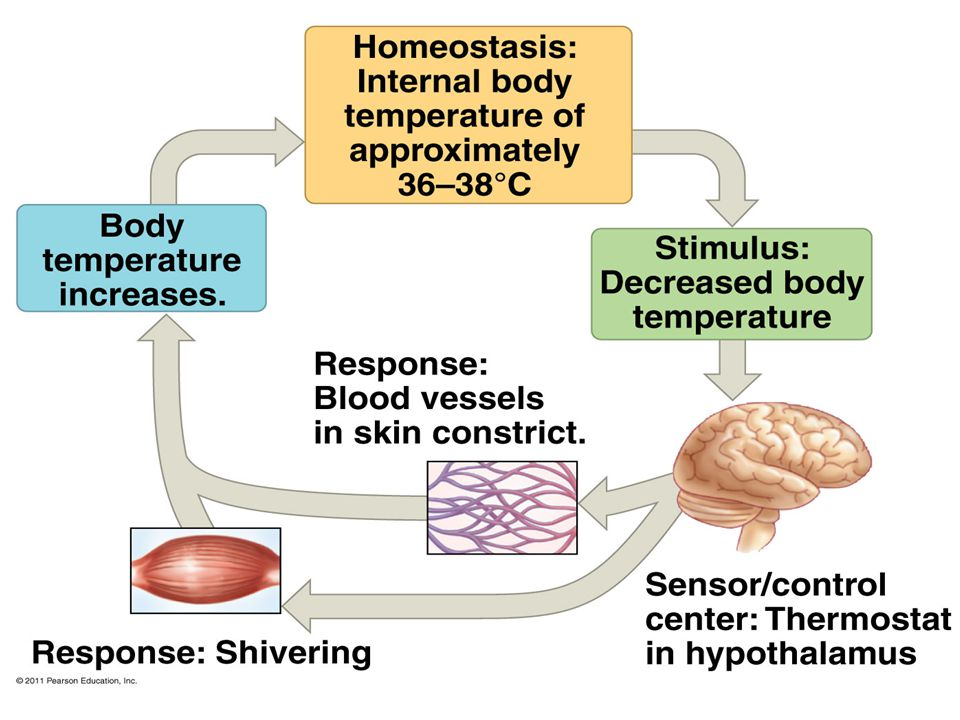 Figure 40.16 The thermostatic function of the hypothalamus in human thermoregulation.