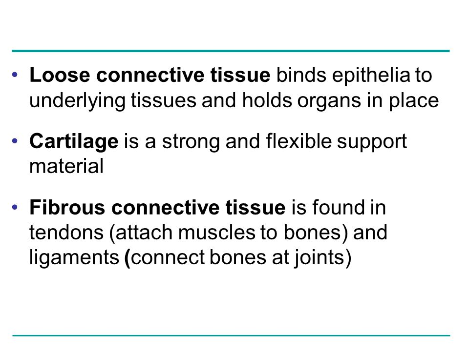 Loose connective tissue binds epithelia to underlying tissues and holds organs in place