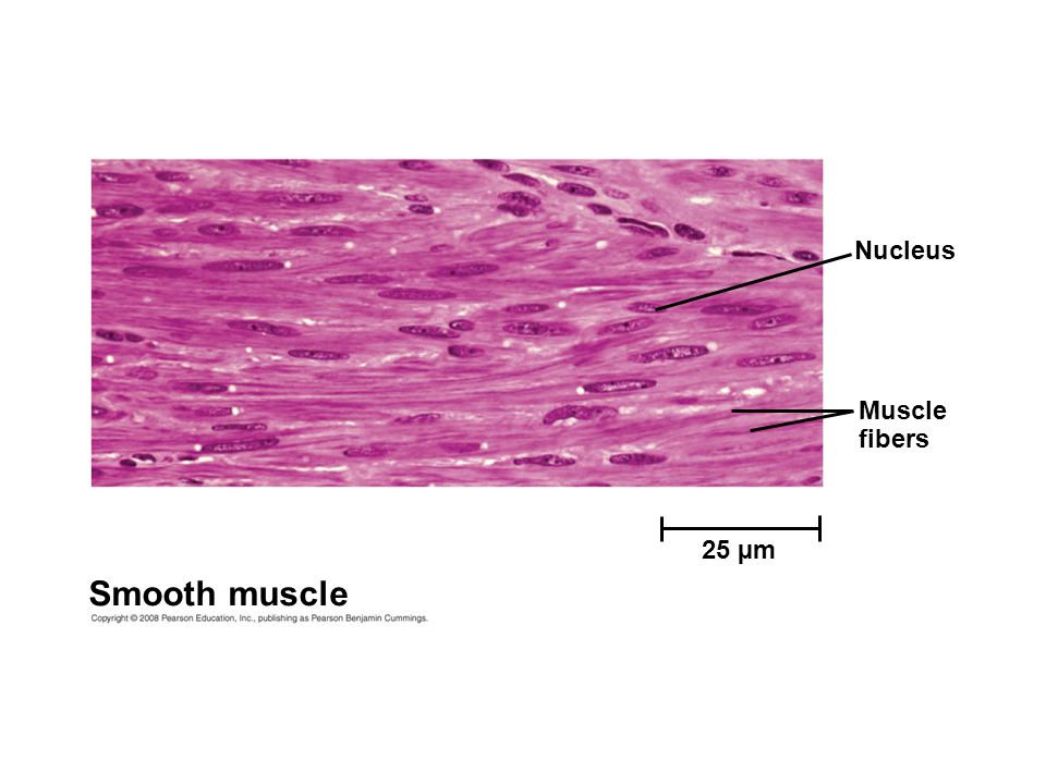 Nucleus Muscle fibers 25 µm Smooth muscle