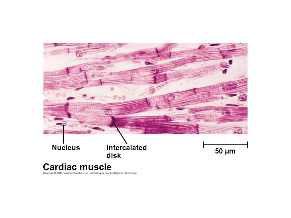 Nucleus Intercalated disk 50 µm Cardiac muscle