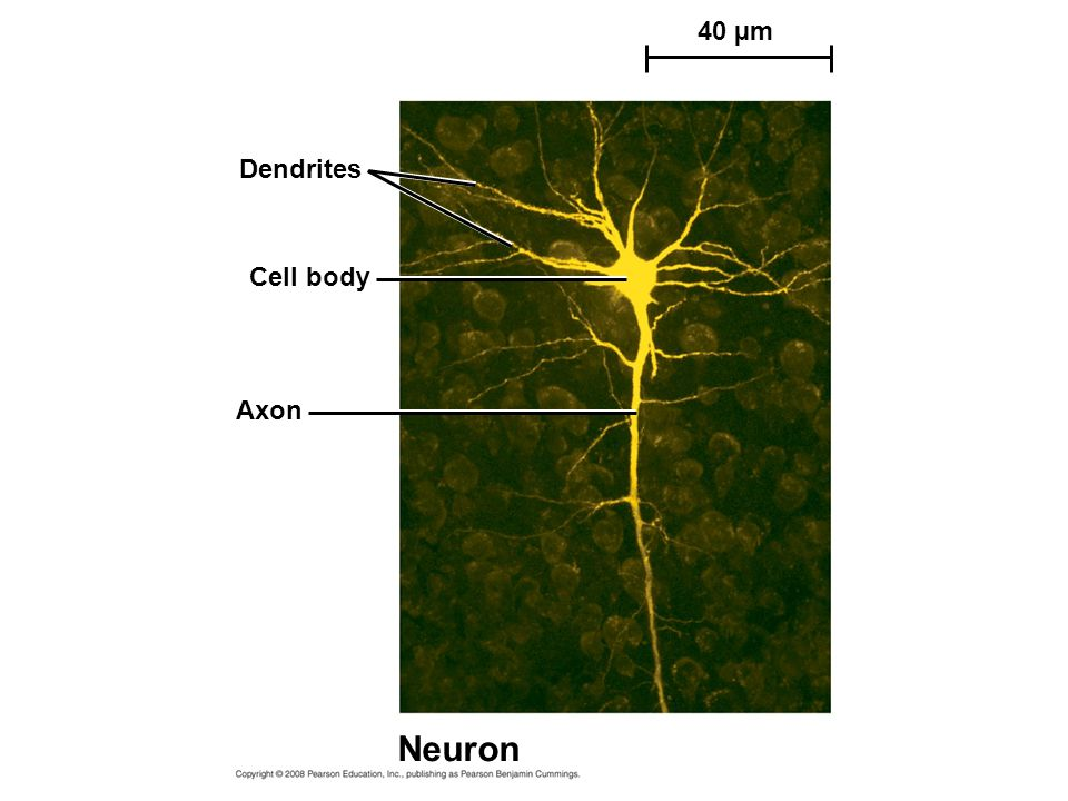 40 µm Dendrites Cell body Axon Neuron