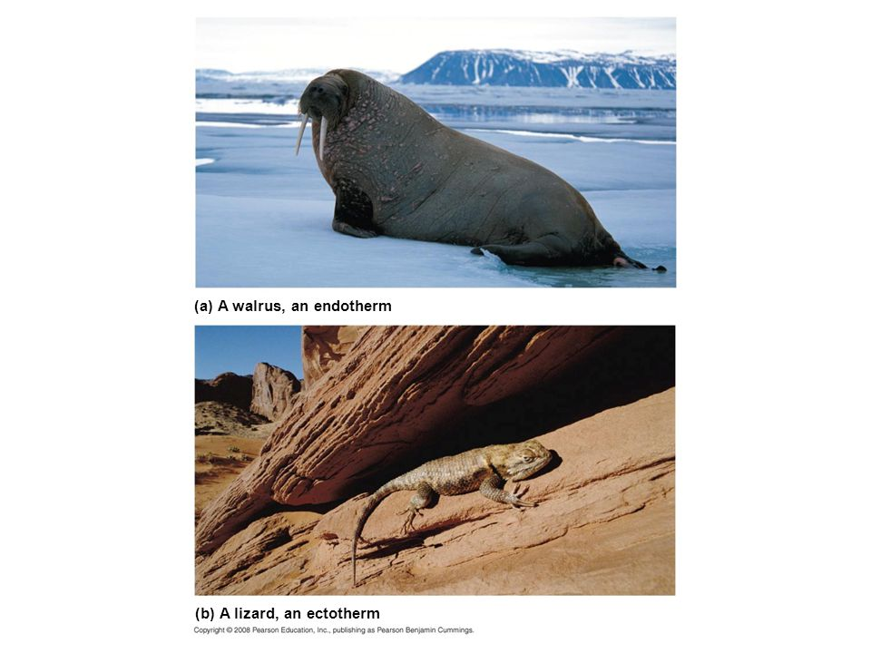 (a) A walrus, an endotherm