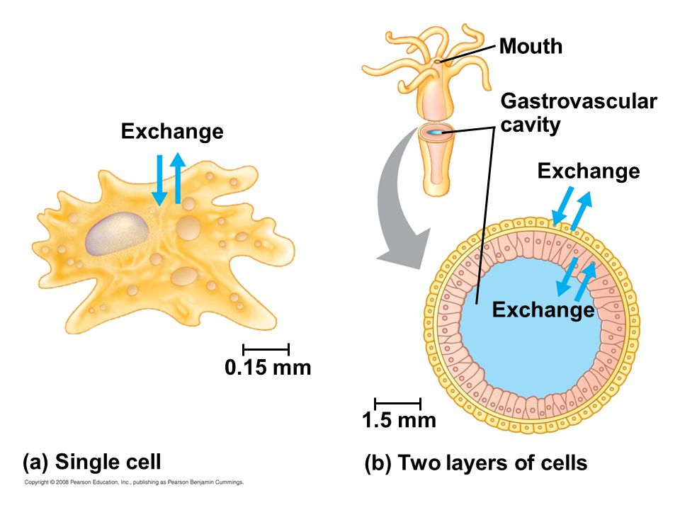 Mouth Gastrovascular. cavity. Exchange. Exchange. Exchange. 0.15 mm. 1.5 mm. (a) Single cell.