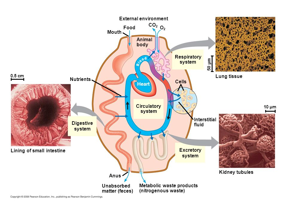 Lining of small intestine Excretory system