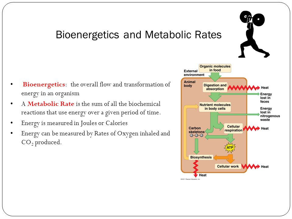 Bioenergetics and Metabolic Rates