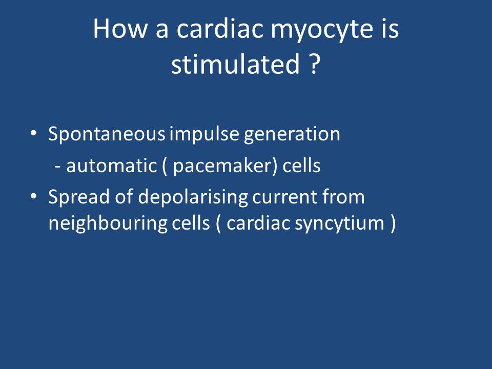 How a cardiac myocyte is stimulated