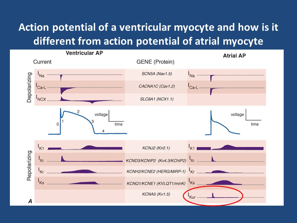Action potential of a ventricular myocyte and how is it different from action potential of atrial myocyte