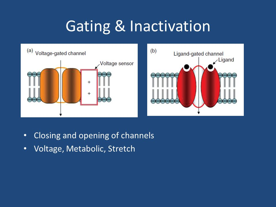 Gating & Inactivation Closing and opening of channels