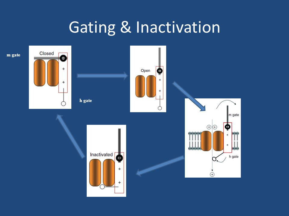 Gating & Inactivation m gate h gate